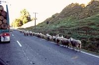 Videonauts Neuseeland sheeps on the street backpacking